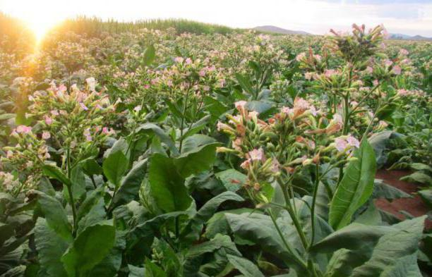 Применение табачной пыли на огороде