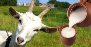 Козье молоко: чем оно лучше для малыша